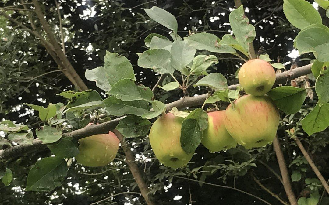 Unser Apfelbaum trägt Früchte